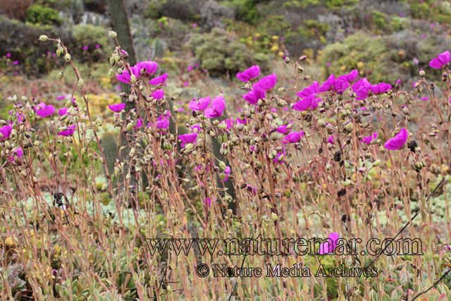 Cisthante grandiflora (Lindl.) Carolin ex Hershk