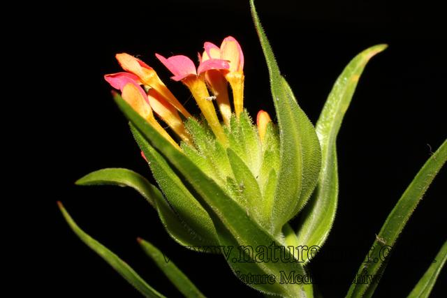Collomia biflora