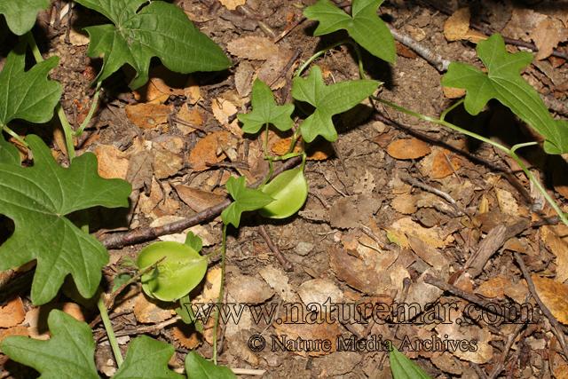 Dioscorea andina