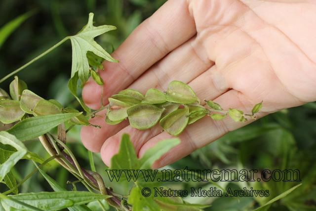 Dioscorea brachybotrya