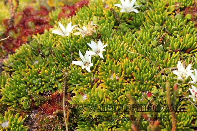Donatia fascicularis J.R. et G. Forster