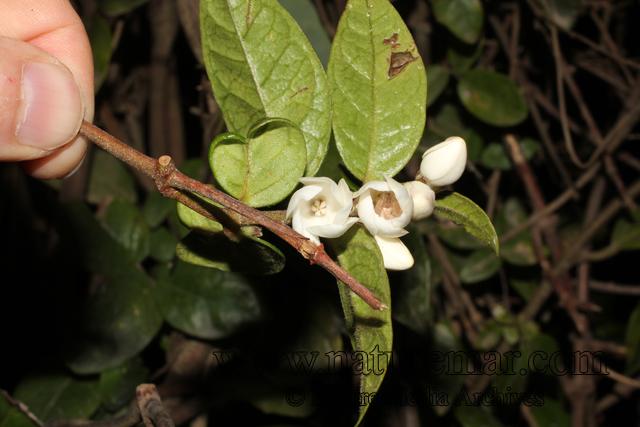 Elytropus chilensis (A.DC.) Muell.-Arg