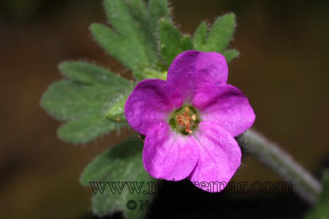 Geranium berterianum