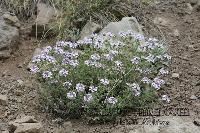 Glandularia laciniata