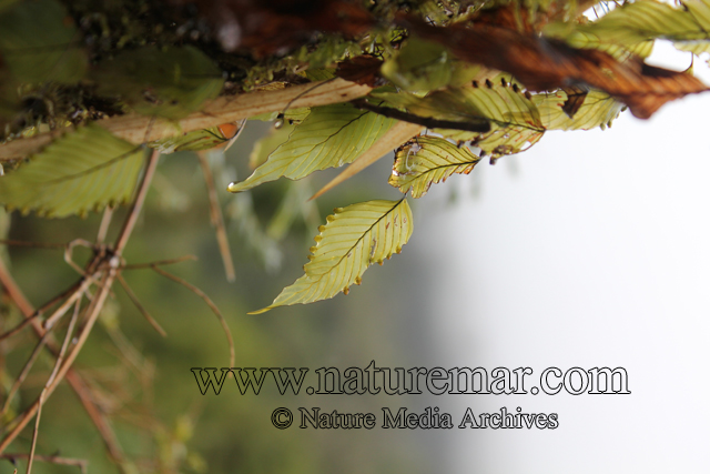 Hymenophyllaceae