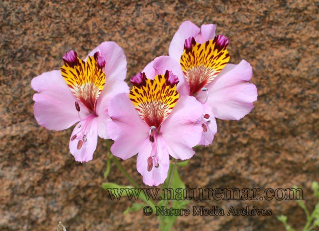 What does family alstroemeriaceae mean? - definitions.net