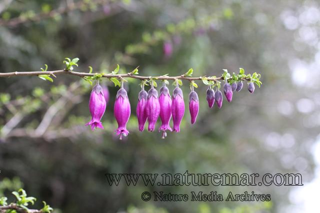 Latue pubiflora