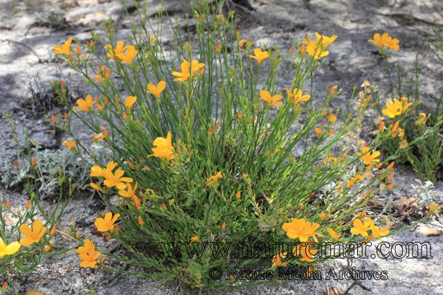 Linum macraei Benth