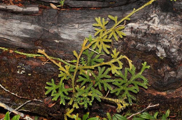 Lycopodium paniculatum