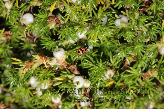 Margyricarpus pinnatus