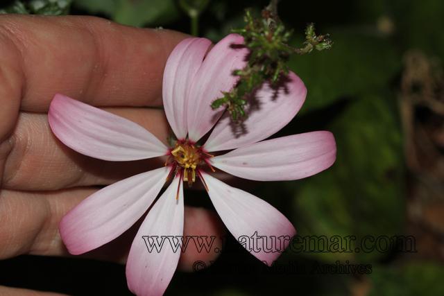 Mutisia araucana