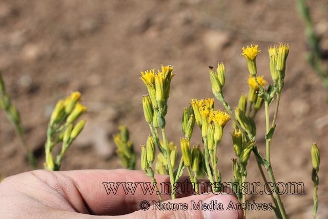 Nardophyllum lanatum