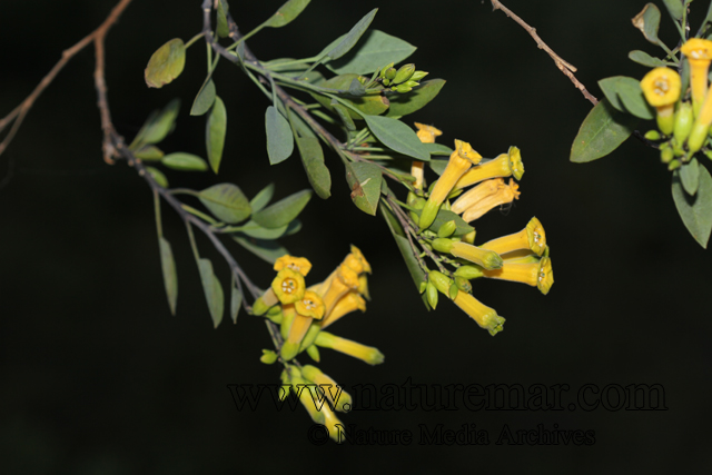 Nicotiana glauca