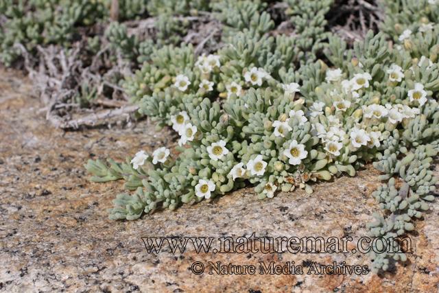 Nolana crassulifolia