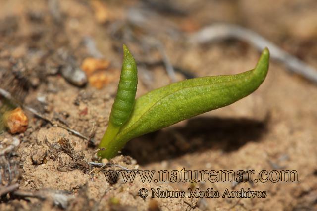 Ophioglossum lusitanicum L