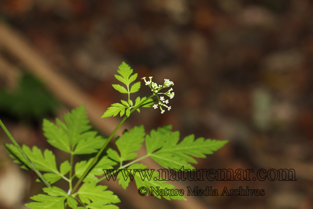 Osmorhyza chilensis