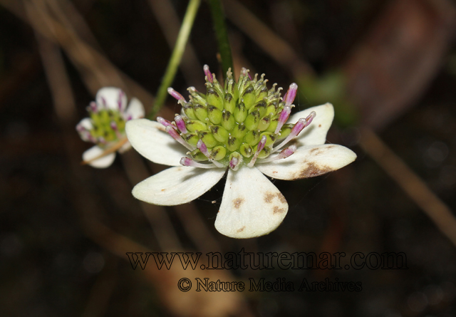 Anemone hepaticifolia Hook