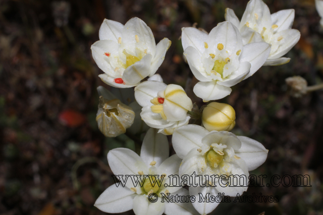 Oziroe biflora