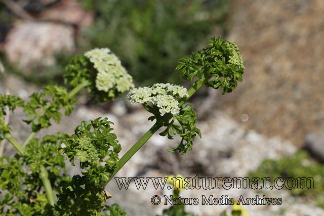 Apium sellowianum Wolff
