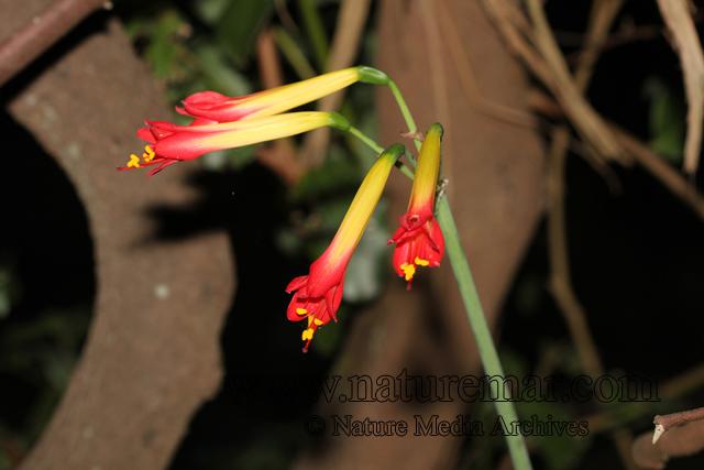 Phycella bicolor