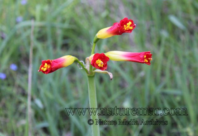 Phycella ignea Lindl