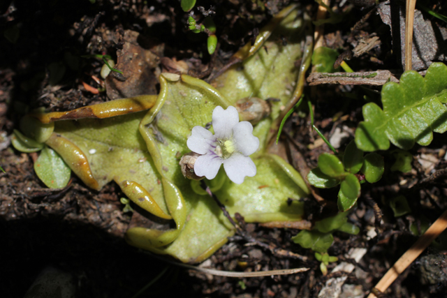 Pinguicula chilensis