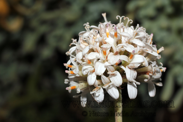 Polyachyrus poeppigii