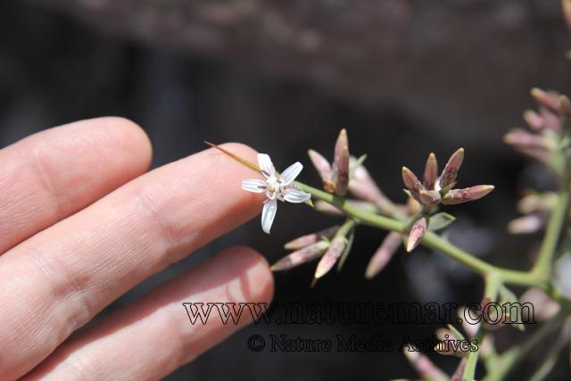 Proustia cuneifolia