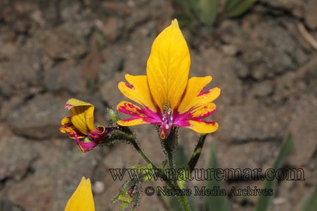 Schizanthus grahamii var coccinea