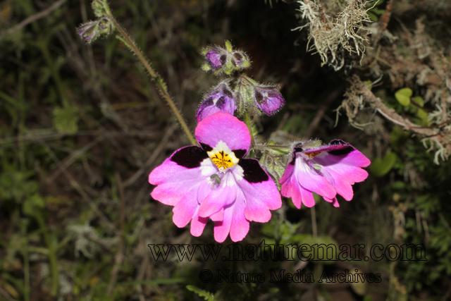 Schizanthus litoralis