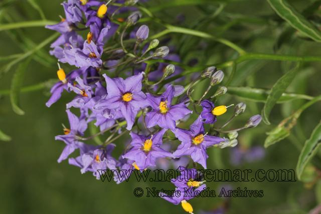 Solanum ligustrinum