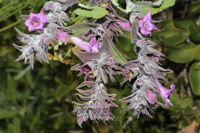Sphacele salviae (Lindl.) Briq