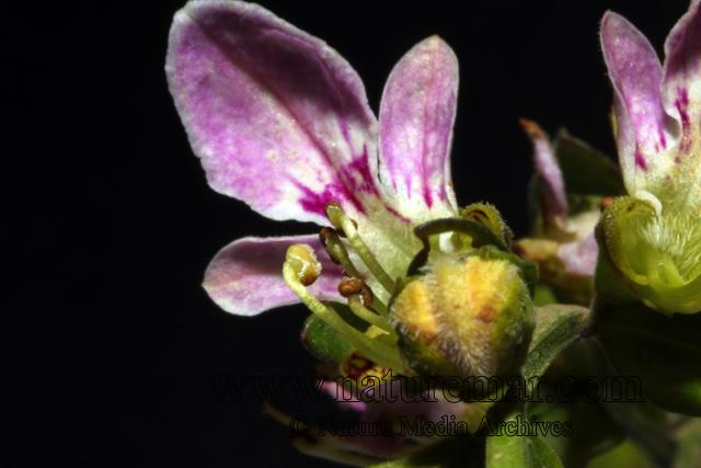 Teucrium bicolor
