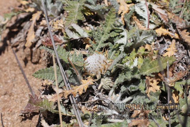 Trichocline aurea (D.Don) Reiche