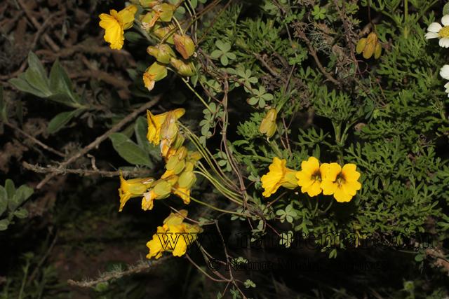 Tropaeolum hookerianum