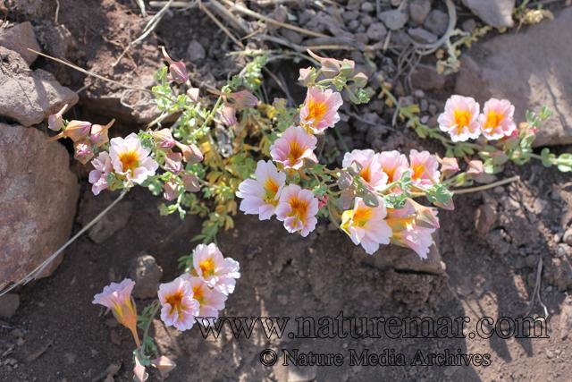 Tropaeolum sessilifolium; Tropaeolum sessilifolium P. et E.;Tropaeolaceae;  Geraniales; Soldadito de cordillera;Nasturtium