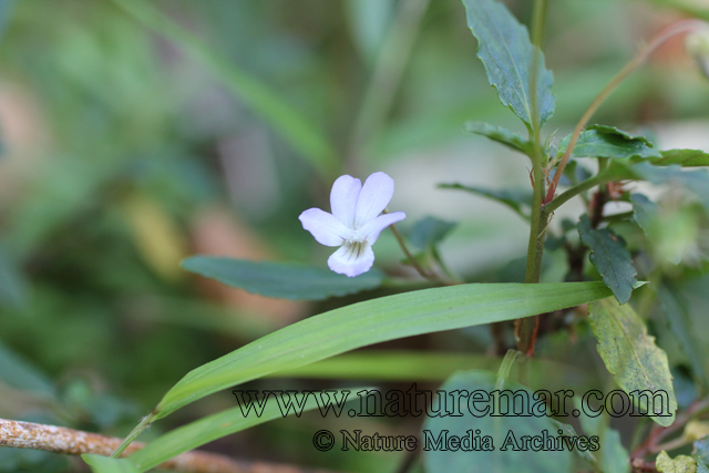 Viola portalesia