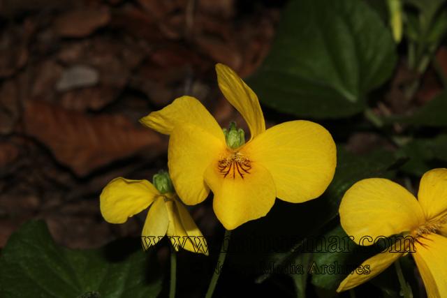 Viola reichei