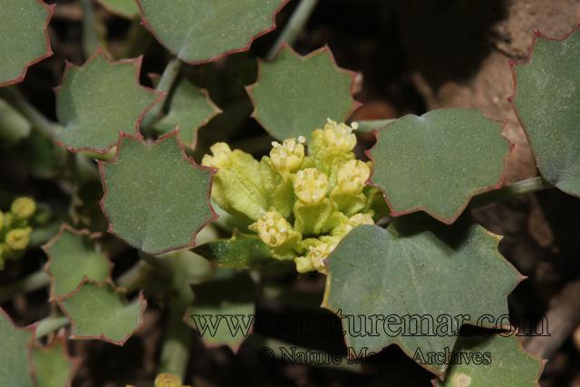 Asteriscium aemocarpon