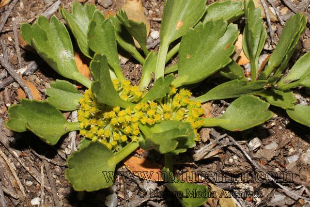 Azorella diversifolia