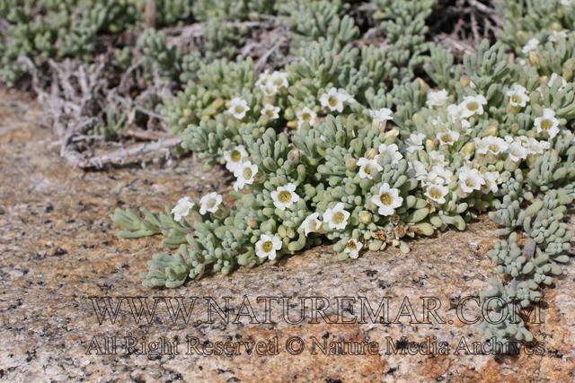 Nolanaceae