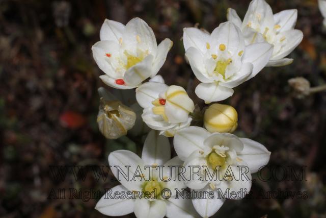 Hyacinthaceae