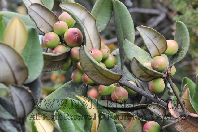 Sapotaceae