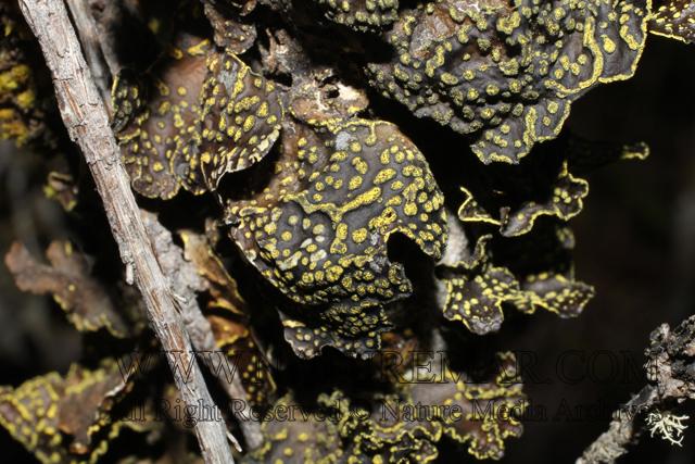Lobariaceae