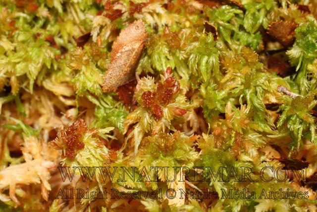 Sphagnaceae