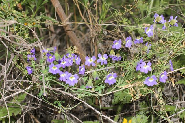 Tropaeolaceae