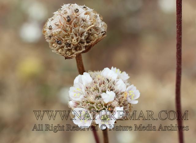Plumbaginaceae