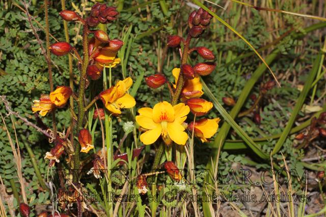 Caesalpinaceae