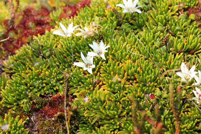 Donatiaceae