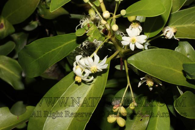 Winteraceae